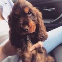 Happy National Puppy Day to all our canine friends! ???? #tbt #nationalpuppyday @cockercooper #cockerspaniel  #puppy #dogsofinstagram #puppiesofinstagram