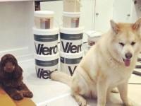 Happy Monday from Viero HQ ???????? . . . #guarddogs #morehinderancethanhelp #officedog #vierouk #vierohq #bringyourdogtoworkday #sampling #interiordesignstudio #cockerspaniel #japaneseakita #dogsofinstagram #cockerspanielsofinstagram #mondayvibes